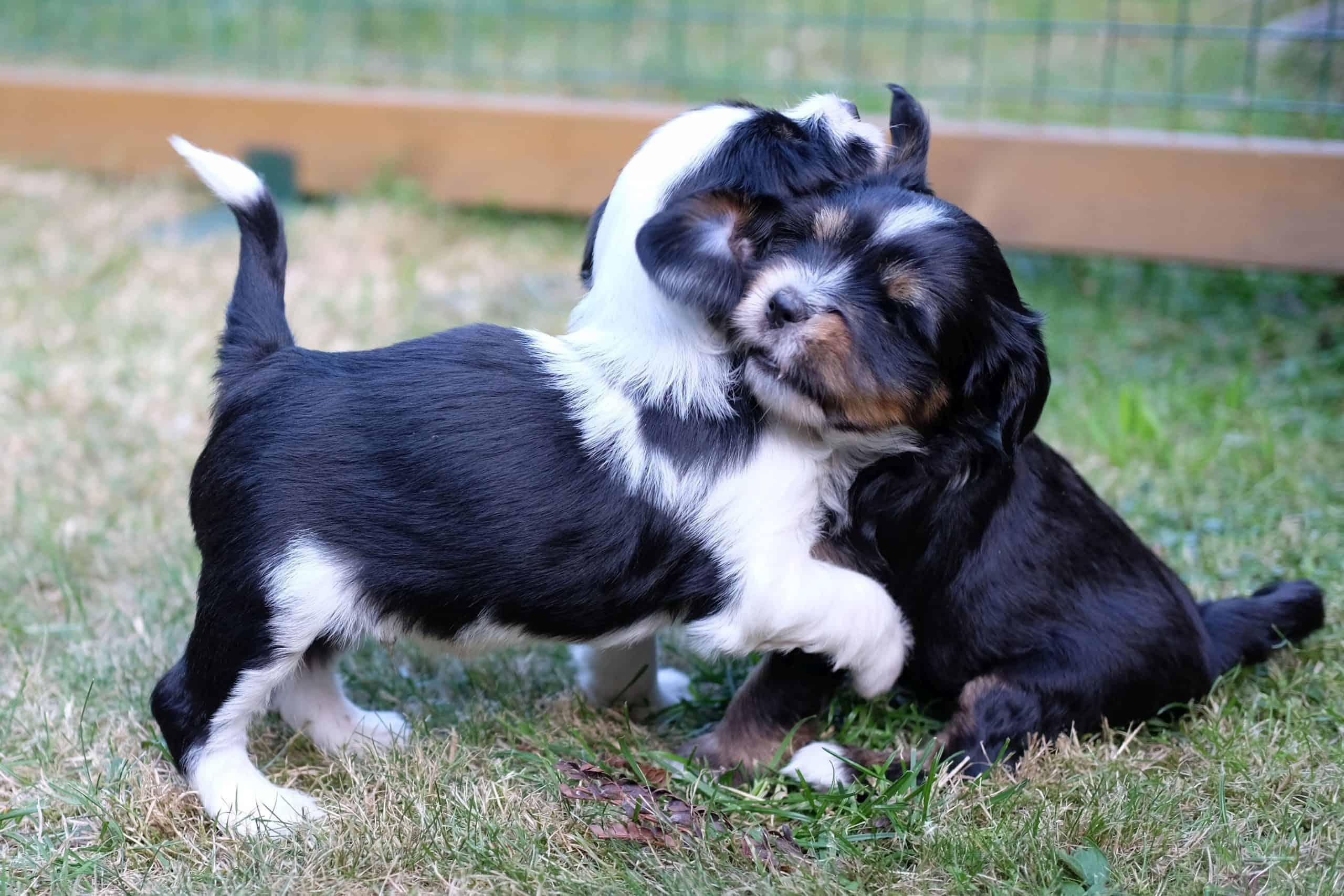 Njima Tibet Terrier - Dr. Claudia Pox